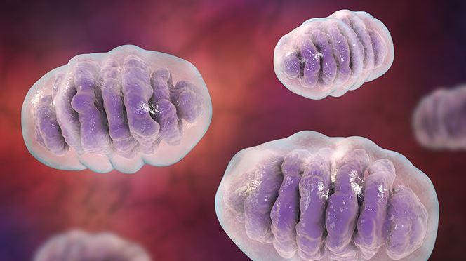 Investigadores de CABIMER ponen de manifiesto la relación entre degradasoma y estabilidad genómica mitocondrial